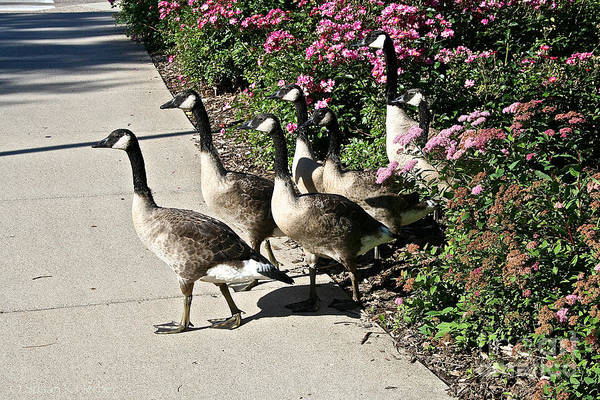 Goose Poster featuring the photograph Garden Geese Parade by Susan Herber