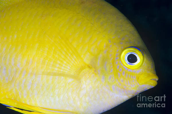 Fish Poster featuring the photograph Golden Damsel Close-up, Papua New by Steve Jones