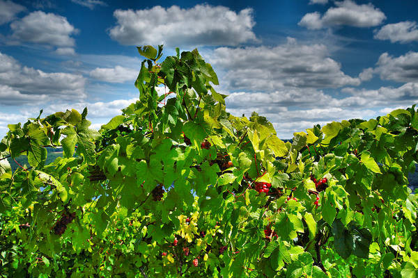 Vineyard Poster featuring the photograph Grape Vines Up Close by Steven Ainsworth