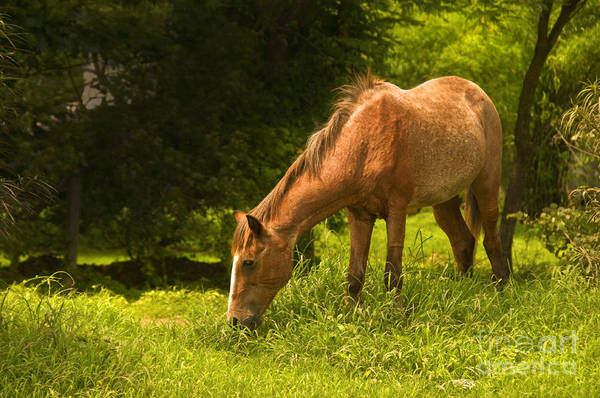 Horse Poster featuring the photograph Grazing Horse by Charuhas Images