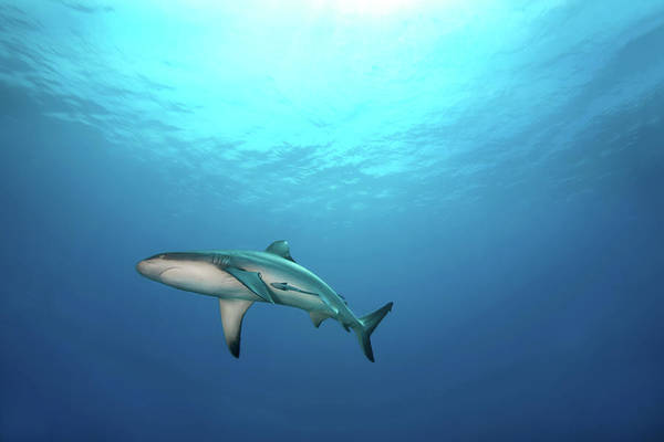 Horizontal Poster featuring the photograph Grey Reef Shark by James R.D. Scott