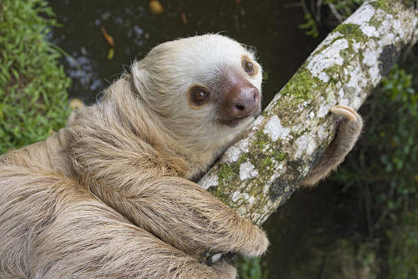 Mp Poster featuring the photograph Hoffmanns Two-toed Sloth Costa Rica by Suzi Eszterhas