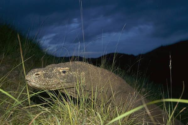 Mp Poster featuring the photograph Komodo Dragon Varanus Komodoensis by Cyril Ruoso