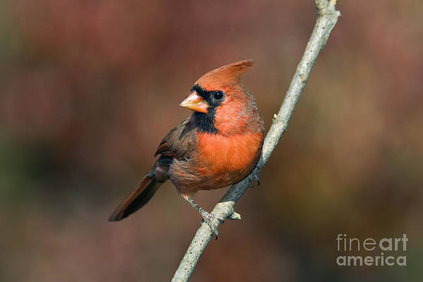 Male Poster featuring the photograph Male Northern Cardinal - D007813 by Daniel Dempster