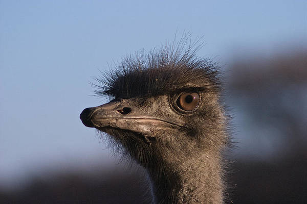 Closeup Poster featuring the photograph Male Ostrich Namibia by David Kleinsasser