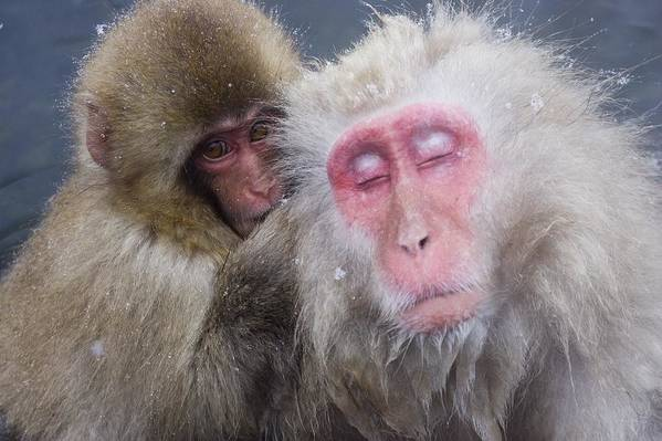 Winter Poster featuring the photograph Older Snow Monkey Being Groomed By A by Natural Selection Anita Weiner
