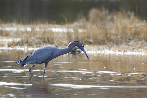 Egretta Caerulea Poster featuring the photograph On The Hunt by Chuck Homler