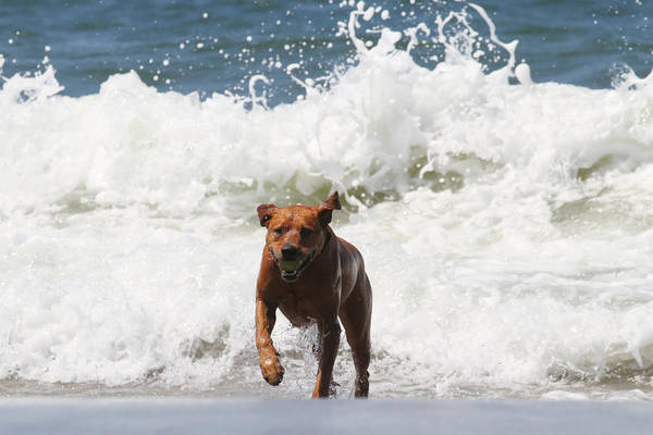 Retrieve Ball Poster featuring the photograph Out Of The Waves by Renae Laughner