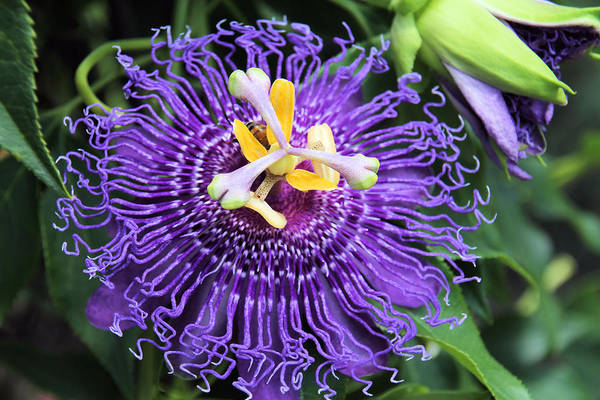 Passionflower Poster featuring the photograph Passionflower Purple by Rosalie Scanlon