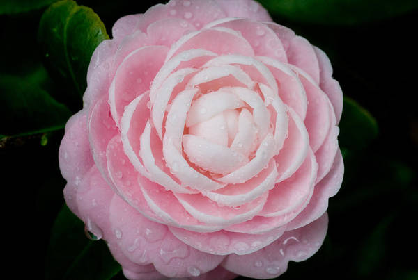 Camellia Poster featuring the photograph Pefectly Pink by Rich Franco
