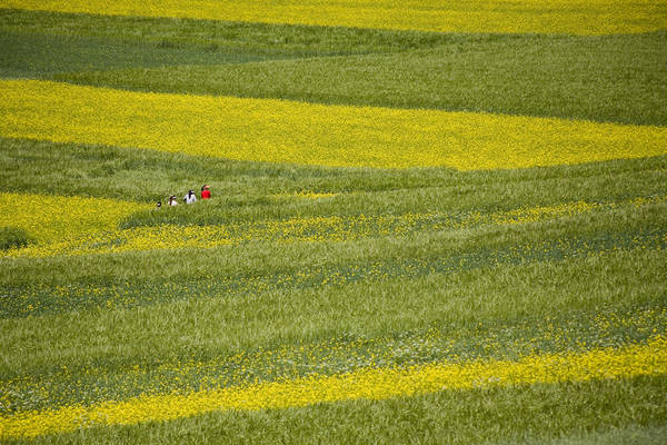 Qinghai Province Poster featuring the photograph People In A Rapeseed Field by David Evans