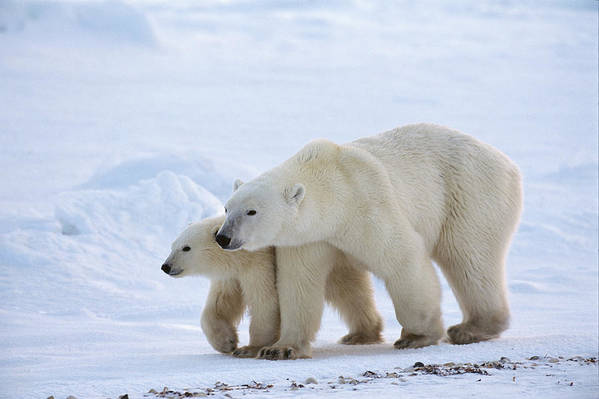 Mp Poster featuring the photograph Polar Bear Ursus Maritimus And Cub by Suzi Eszterhas