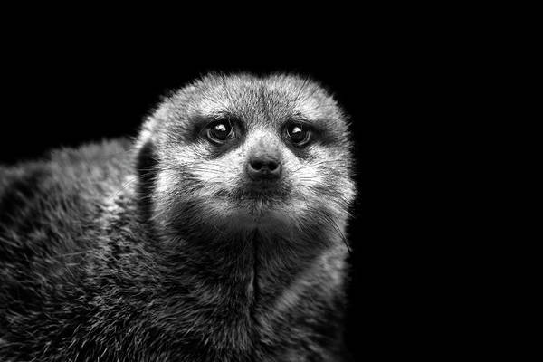 Horizontal Poster featuring the photograph Portrait Of Meerkat by Malcolm MacGregor