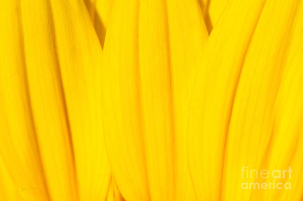 Yellow Poster featuring the photograph Rays Of Sunflower by Luke Moore