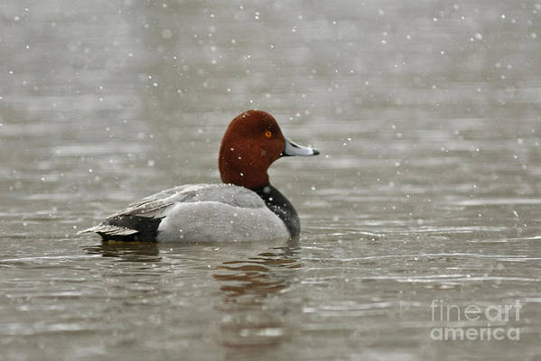 Canadian Poster featuring the photograph Redhead Duck In Winter Snow Storm by Inspired Nature Photography Fine Art Photography