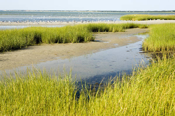 Landscapes Poster featuring the photograph Salt Marsh Habitat With Flock Of Birds by Tim Laman
