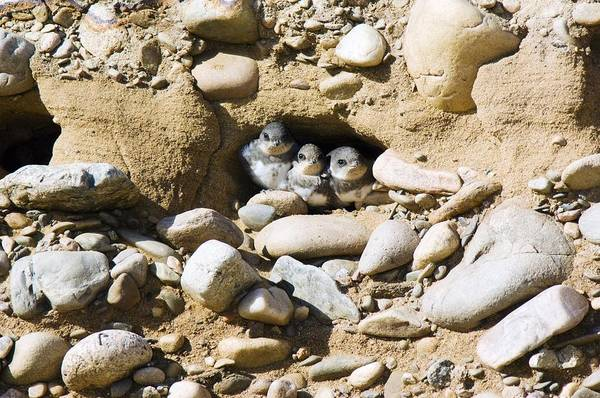Sand Martins Poster featuring the photograph Sand Martins by Duncan Shaw