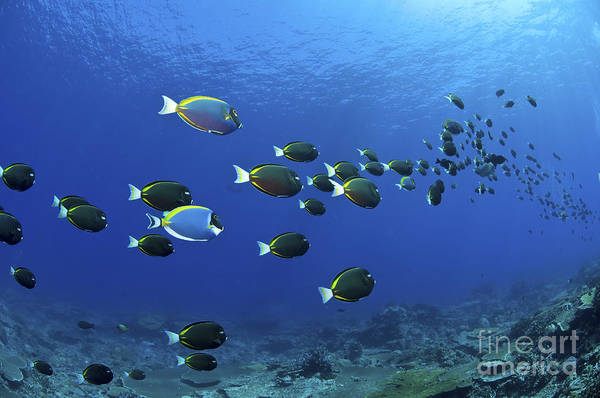 Australia Poster featuring the photograph School Of Surgeonfish, Christmas by Mathieu Meur