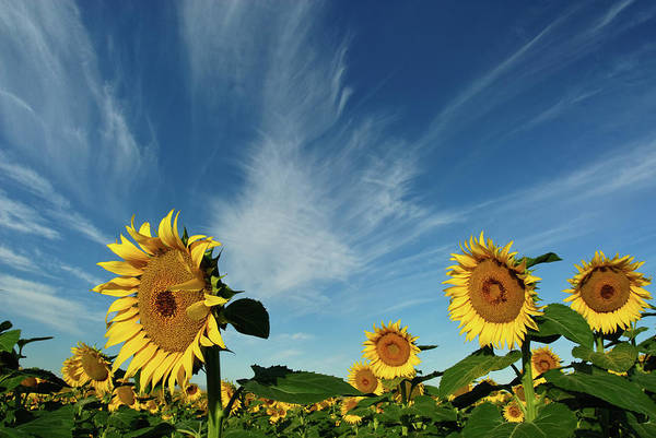 Horizontal Poster featuring the photograph Sunflowers by Robin Wilson Photography