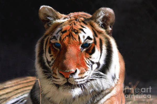 Tiger Poster featuring the photograph Tiger Blue Eyes by Rebecca Margraf