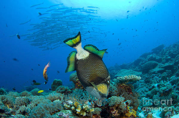Fish Poster featuring the photograph Titan Triggerfish Picking At Coral by Steve Jones