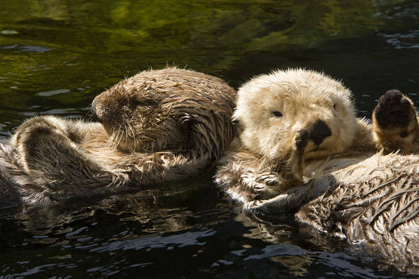 Cute Photographs Poster featuring the photograph Two Captive Sea Otters Floating Back by Tim Laman