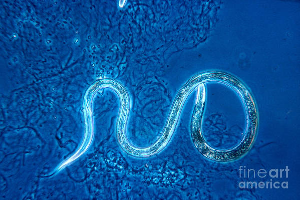 Turbatrix Aceti Poster featuring the photograph Vinegar Eel by Eric V. Grave