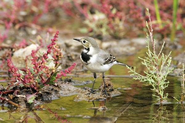 White Wagtail Poster featuring the photograph White Wagtail by Photostock-israel