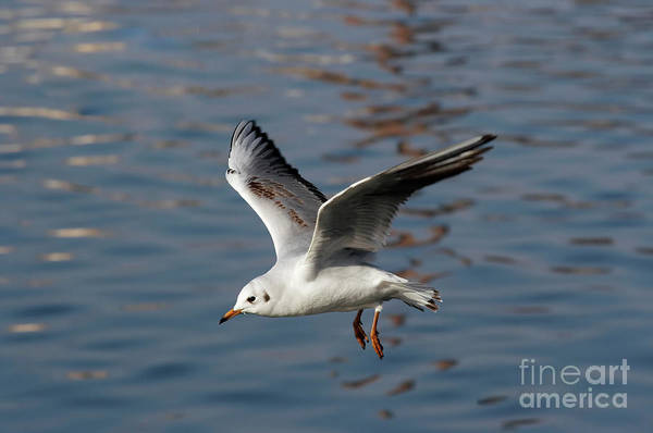 Animal Poster featuring the photograph Flying Gull by Michal Boubin