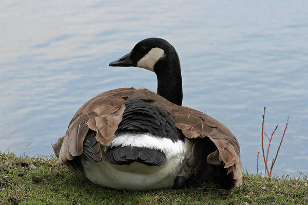 Canadian Geese Poster featuring the photograph Resting by Rachel Roushey