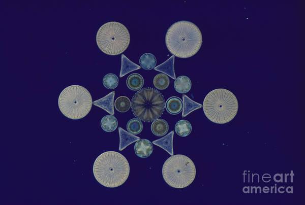 Diatom Poster featuring the photograph Diatom Arrangement by M. I. Walker