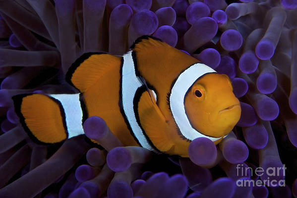 Swimming Poster featuring the photograph False Ocellaris Clownfish In Its Host by Terry Moore