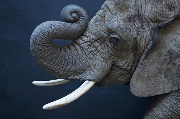 Indoors Poster featuring the photograph A Female African Elephant, Loxodonta by Joel Sartore