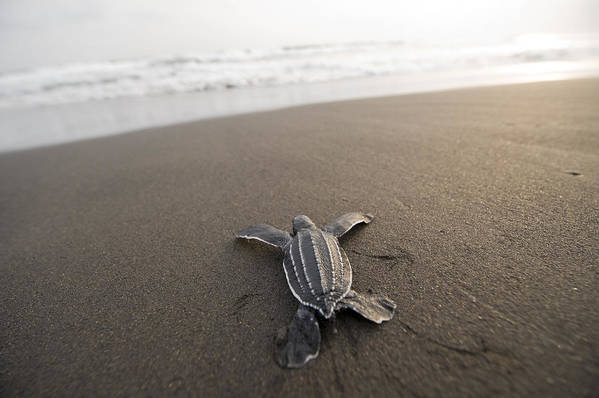 Outdoors Poster featuring the photograph A Leatherback Sea Turtle Hatchling by Joel Sartore