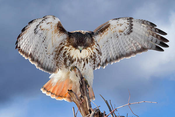Red Tail Hawk Poster featuring the photograph Balance by Bill Wakeley