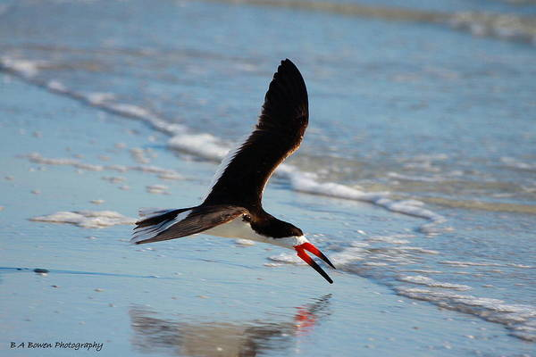 Black Skimmer Poster featuring the photograph Black Skimmer by Barbara Bowen
