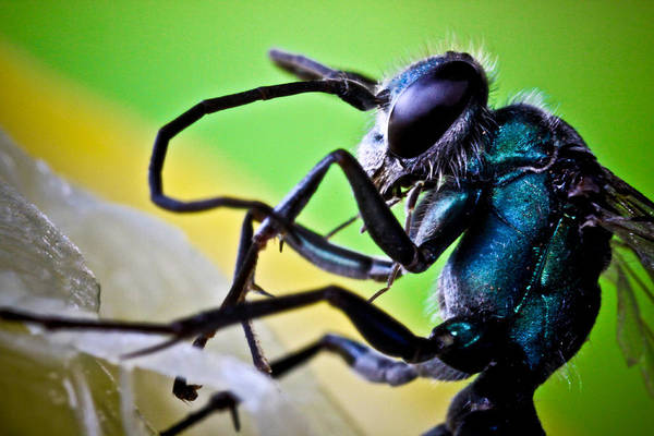 ryankellyphotography@gmail.com Poster featuring the photograph Blue Wasp On Fruit by Ryan Kelly