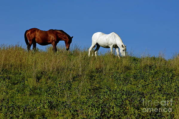 Animal Poster featuring the photograph Brown And White Horse Grazing Together In A Grassy Field by Sami Sarkis