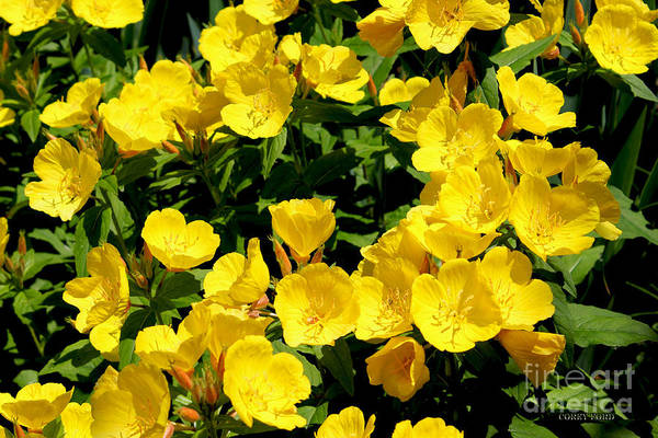Flower Pictures Poster featuring the painting Buttercup Flowers by Corey Ford