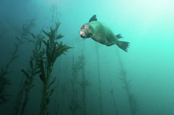 Horizontal Poster featuring the photograph California Sea Lion In Kelp by Steven Trainoff Ph.D.