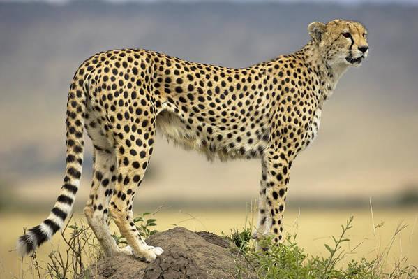 Fn Poster featuring the photograph Cheetah Acinonyx Jubatus On Termite by Winfried Wisniewski