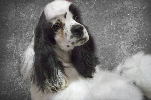 Cocker Poster featuring the photograph Cocker Spaniel by Rebecca Cozart