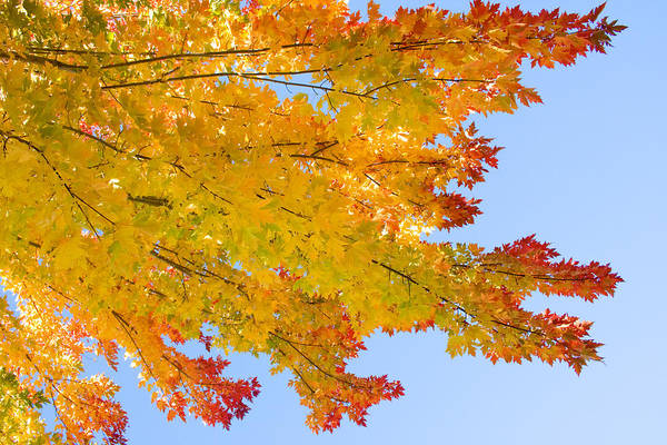 Branches Poster featuring the photograph Colorful Autumn Reaching Out by James BO Insogna