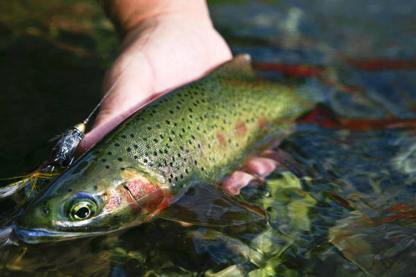 Fishing Poster featuring the photograph Cutthroat Trout On The Middle Fork by Drew Rush