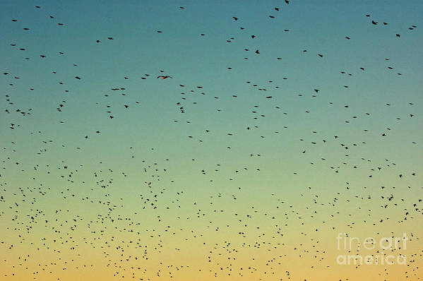 Animal Poster featuring the photograph Flock Of Swallows Flying Together At Sunset by Sami Sarkis