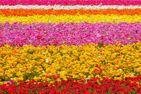 Flower Poster featuring the photograph Flower Fields Carlsbad Ca Giant Ranunculus by Christine Till