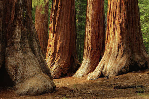 Horizontal Poster featuring the photograph Giant Sequoias, Yosemite National Park by Andrew C Mace