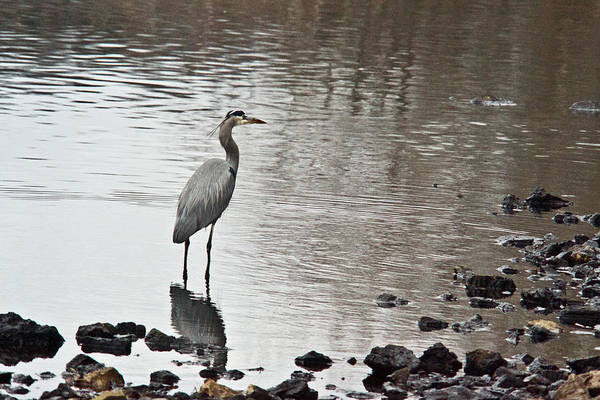 Great Poster featuring the photograph Great Blue Heron Wading 2 by Douglas Barnett