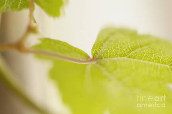 Grapevine Poster featuring the photograph Green Grapevine Leaf by Sami Sarkis