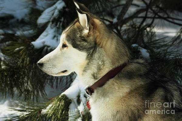 Dog Poster featuring the photograph Handsome Husky Nanuk by Marjorie Imbeau